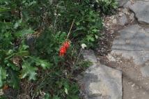 Scarlet Penstemon