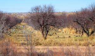 Flocks of Sandhill Cranes Corrales Apple Orchard