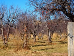 Sandhill Cranes and Canada Geese in the Apple Orchard