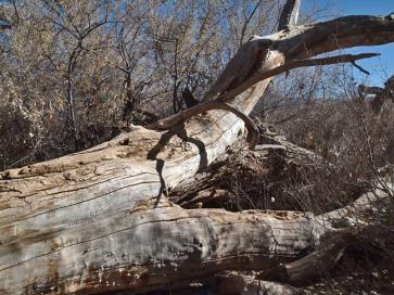 Cottenwood - Fallen Giant